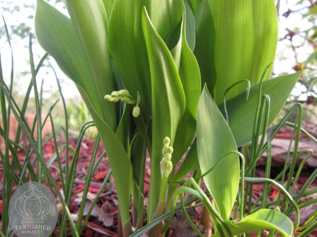 flower_buds_lily_of_the_valley